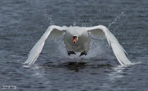 Image borrowed from http://www.bbc.co.uk/nature/life/Mute_Swan